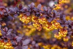 Fondo hermoso del resorte forre las floraciones con las flores amarillo-naranja y las pequeñas hojas Imágenes de archivo libres de regalías