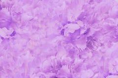 Fondo hermoso rosa claro floral Papeles pintados de la peonía rosado-blanca de las flores Composición de la flor Primer Fotografía de archivo
