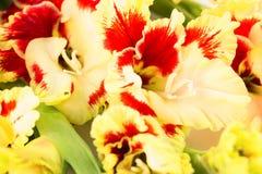 Fondo horizontal del gladiolo brillante rojo y amarillo Fotos de archivo