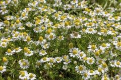 Fondo Il matricaria chamomilla medicinale della camomilla dei wildflowers bianchi in un prato immagine stock
