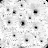 Fondo inconsútil monocromático blanco con las flores del gerbera Foto de archivo libre de regalías