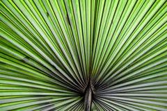 Fondo increspato astratto della pianta della palma di fan immagini stock libere da diritti