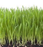 Fondo isolato dell'erba Fotografia Stock Libera da Diritti
