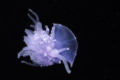 Fondo isolato di buio delle meduse della corona Fotografia Stock