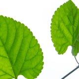 Fondo isolato foglia verde immagini stock libere da diritti
