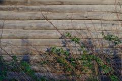 Fondo La pared de una caba?a de madera vieja Los arbustos de frambuesa secan las ramitas y las ramas con las hojas foto de archivo