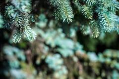 Fondo La textura del pino azul ramifica en general marco Marco horizontal Foto de archivo