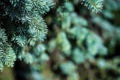 Fondo La textura del pino azul ramifica en general marco Marco horizontal Fotos de archivo