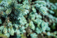 Fondo La textura del pino azul ramifica en general marco Marco horizontal Imágenes de archivo libres de regalías