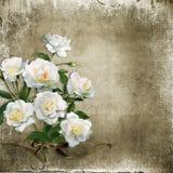 Fondo lamentable del vintage con las rosas blancas Imagenes de archivo