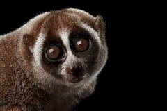 Fondo lento de Loris Isolated Black del lémur del primer Fotos de archivo libres de regalías