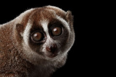 Fondo lento di Loris Isolated Black delle lemure del primo piano Fotografie Stock Libere da Diritti