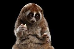 Fondo lento di Loris Isolated Black delle lemure del primo piano Fotografia Stock Libera da Diritti