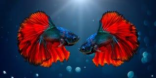 Fondo ligero azul rojo de los pescados que lucha con el bokeh Fotografía de archivo libre de regalías