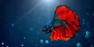 Fondo ligero azul rojo de los pescados que lucha con el bokeh Imagen de archivo libre de regalías