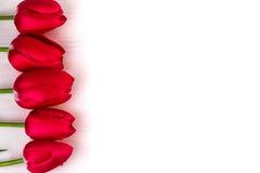 Fondo ligero de los tulipanes rojos Fotografía de archivo