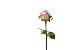 Fondo limpio de la flor blanca y rosada Fotografía de archivo