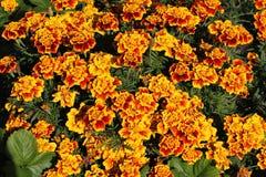 Fondo luminoso dei tageti dei fiori Tageti gialli nell'aiola fiori Giallo-rossi nel giardino di autunno Fotografia Stock