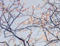 Fondo luminoso del fuoco di Plum Soft del giapponese Fotografia Stock Libera da Diritti