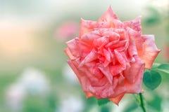 Fondo luminoso di estate della rosa di rosa e di bianco Immagine Stock