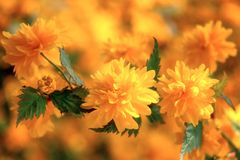 Fondo luminoso naturale della molla floreale con i fiori gialli di kerria immagini stock libere da diritti