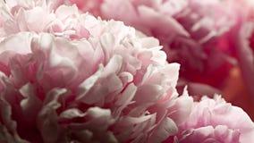 Fondo macro de la flor de la peonía Fotografía de archivo