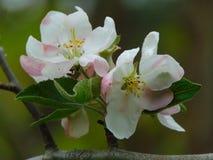 Fondo macro de la foto con las flores con los pétalos blancos en una rama de un árbol frutal el árbol Fotografía de archivo libre de regalías