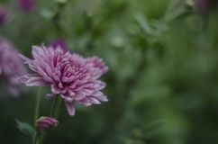 Fondo macro del arte abstracto de las flores hermosas con un foco suave Rosado y púrpura florece el crisantemo en naturaleza ence Imagen de archivo