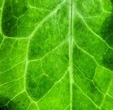 Fondo macro extremo de la textura de la biología del verde de la foto del primer de la estructura superficial rugosa verde fresca imagen de archivo