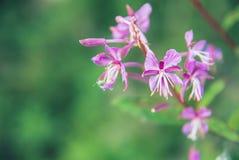 Fondo macro floreciente del primer del angustifolium del Epilobium del laurel de San Antonio del té de Ivan de la hierba del sauc Fotografía de archivo libre de regalías