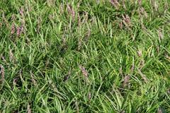 Fondo magnífico de la hierba larga y de las flores púrpuras Foto de archivo libre de regalías