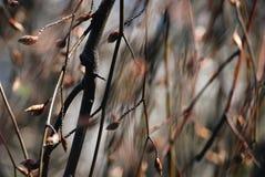Fondo marrón de la naturaleza de la rama y del brote Fotografía de archivo