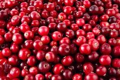 Fondo maturo rosso dei mirtilli rossi immagine stock
