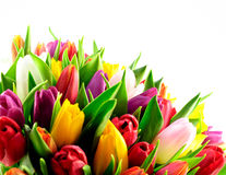 Fondo mezclado del blanco de la parte inferior del manojo del arco iris de los tulipanes Foto de archivo libre de regalías