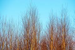 Fondo minúsculo de los árboles de abedul y cielo azul Fotos de archivo