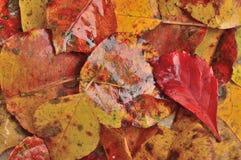 Fondo mojado de las hojas de otoño Imagen de archivo libre de regalías
