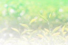 Fondo molle e foglia di tè fresca della sfuocatura con il wat dello spruzzo e del bokeh Fotografie Stock
