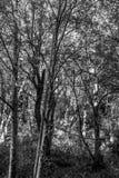 Fondo monocromatico degli alberi immagine stock