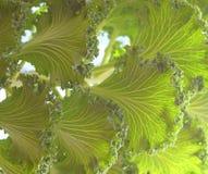 Fondo natural abstracto - hojas de la col rizada ornamental - brassica oleracea Foto de archivo
