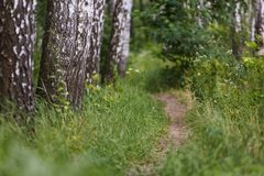 Fondo natural, arboleda del abedul, camino, trayectoria entre abedules, paisaje, bosque, Imagen de archivo