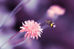Fondo natural artístico asombroso Abejorro que vuela sobre la flor rosada fantástica del diente de león Billete de banco reajusta Fotografía de archivo