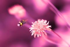 Fondo natural artístico asombroso Abejorro que vuela sobre la flor rosada fantástica del diente de león Billete de banco reajusta Imagen de archivo libre de regalías