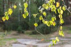 Fondo natural Colgante iluminado por el sol abajo de ramas del abedul en verde Fotos de archivo libres de regalías