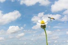 Fondo natural con la abeja que vuela a la flor de cristal Imagenes de archivo