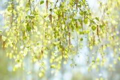 Fondo natural con la ramita fresca de la primavera del abedul en foco selectivo Fotografía de archivo libre de regalías