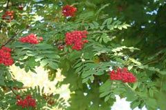 Fondo natural con las bayas rojas de la ceniza de montaña fotografía de archivo