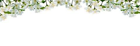 Fondo natural con las flores y las hojas de la cereza imagen de archivo