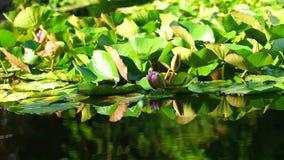Fondo natural con las plantas de los lirios de agua en la charca metrajes