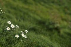Fondo natural con las primeras margaritas en la hierba verde jugosa en la colina Primavera, verano, estaciones, ecología copia Imagen de archivo libre de regalías