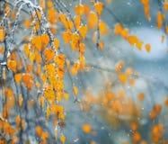 Fondo natural con las ramas de los árboles de abedul con oro del otoño Fotografía de archivo